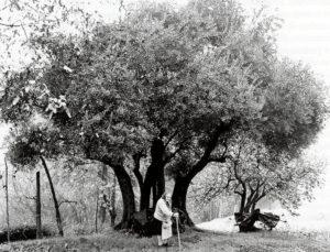 4 novembre 2007: il convegno sulla cltivazione dell'olivo. Nella foto: un olivo secolare a Rasiglio di Sasso Marconi (foto Istituto Prof.le B. Ferrarini)